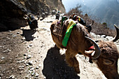 A yak train kicking up dust in Nepal Solukhumbu Region, Nepal