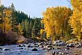 Fall yellow Cottonwood trees along the Truckee River in California, Truckee, ca, usa