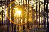 The setting sun creates lens flare and is seen through a grove of pine trees in a part of the Green Swamp in Southeast North Carolina, Green Swamp, North Carolina, United States