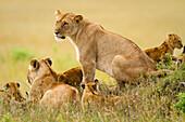 Lions keep an eye over their Masai Mara, Kenya domain Masai Mara, Kenya