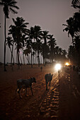 Cattle on the way back to a fishing village, Ouidah, Atlantique Department, Benin