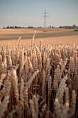 Grain field, Merklingen, Baden-Wuerttemberg, Germany