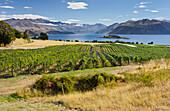 Rippon vineyards, Ruby Island, Lake Wanaka, Otago, South Island, New Zealand