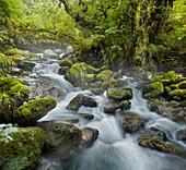 Forest creek, stream, Fiordland National Park, Southland, South Island, New Zealand