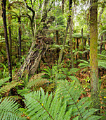 Papatowai Top Track, Forest and ferns, Otago, South Island, New Zealand