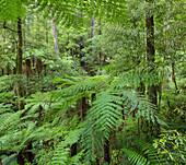 Ferns, Whirinaki Forest Park, Bay of Plenty, North Island, New Zealand