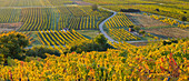 Autumn vines, Vineyards, Baden near Vienna, Lower Austria, Austria