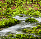 Beech tree and moss covered stones, tributary of the Orbe river, Vallorbe, Waadt, Switzerland