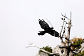 Jackdaw flying in mist at mount Jenner, Berchtesgadener Land, Upper Bavaria, Germany