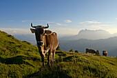 Cattle at Eggenalm, Wilder Kaiser mountains in background, Waidring, Tyrol, Austria