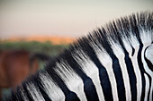 Detail of black and white stripes of a zebra, Etosha National Reserve, Namibia, Africa