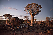 Quiver trees after sunset in the quiver tree forest, Keetmanshoop, Namibia, Africa