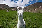 Young alpaca, Arica, Arica y Parinacota, Chile