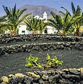Grape vines growing in volcanic soil La Geria Lanzarote Canary Islands Spain.