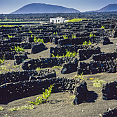 Grape vines growing in volcanic soil La Geria Lanzarote Canary Islands Spain.