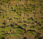 Six giraffe browse the thorny acacia in northern Kenya??s scrublands. Late afternoon light combined with an aerial perspective add to the graphic appeal of this image.