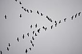 A flock of sandhill cranes flying in an overcast sky, Denali National Park, Alaska, USA