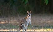 Agile wallaby, Northern Territory, Australia