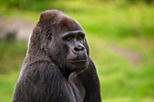 Western Lowland Gorilla looking at camera