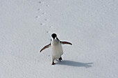 Adelie penguin walking on the ice floe in the southern ocean, 180 miles north of East Antarctica, Antarctica