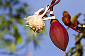 South America ,Brazil, Amazonas state, Manaus, Amazon river basin, Great Kapok Tree.( Ceiba pentandra ).