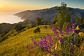 Spring Lupine wildflowers and green hills at sunset, Ventana Wilderness, Los Padres National Forest, Big Sur coast, California Spring Lupine wildflowers and green hills at sunset, Ventana Wilderness, Los Padres National Forest, Big Sur coast, California.