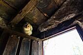 Barn Owl Tyto alba. Cantabria. Spain