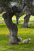 Sheep Ovis aries, Holm Oak or Holly Oak forest Quercus ilex, Monfragüe National Park, Cáceres, Extremadura, Spain, Europe.
