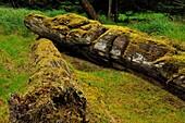 K'uuna Llnagaay (Skedans, Koona) village site- Fallen mortuary pole featuring a grizzly bear, Haida Gwaii (Queen Charlotte Islands) Gwaii Haanas NP, British Columbia, Canada.