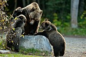 Grizzly bear (Ursus arctos)- Family interacting along the shore of a salmon river during the autumn spawning season, Chilcotin Wilderness, BC Interior, Canada.