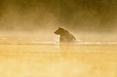 Grizzly bear (Ursus arctos)- Yearling (second-year) cub splashing in a salmon river during the autumn spawning season, Chilcotin Wilderness, BC Interior, Canada.