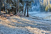 Frosted ferns and pines in a woodland near the Gibbon River, Yellowstone NP, Wyoming, USA.