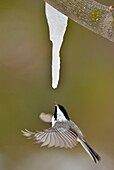 Black-capped Chickadee (Poecile atricapillus) feeding on maple sap dripping from a maple icicle.