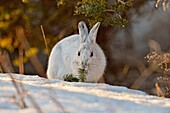Varying/snowshoe hare (Lepus americanus) Late winter.