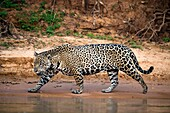 Jaguar, walking along the sand bank of a river, Pantanal, Brazil.