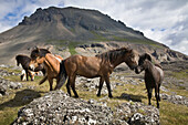Herd Of Horses, Near Hofn, Iceland