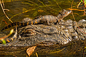 American Alligator With Baby Sitting On Its Head, Everglades National Park, Florida.