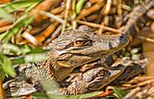 Juvenile American Alligators, Everglades National Park, Florida.