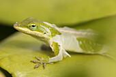 Close Up Of A Gecko Shedding Its Skin, Hawaii