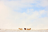 Icelandic Horses In Snow Covered Field, Iceland