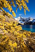 Artist's Choice: Larch Trees, Lake Mcarthur And Mount Biddle, Yoho National Park, British Columbia