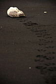 Immature Fulmar Bird On A Black Sand Beach, Near Vik, Iceland