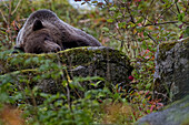 'Grizzly Bear Laying On A Rock; Haines Alaska Usa'
