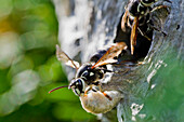 'Paper Wasp Flying Out Of It's Hive; Ontario Canada'
