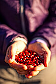 'A Handful Of Wild Cranberries After A Night Of Picking; Yukon Canada'
