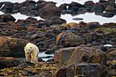 Polar Bear Walking On Rocks, Churchill, Manitoba