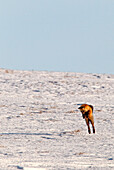 A Fox Leaps Into The Air Hunting For Mice, Dempster Highway, Yukon.