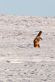 A Fox Plunges Headfirst Into The Snow Hunting For Mice, Dempster Highway, Yukon.