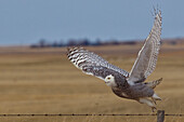 'Snowy Owl Taking Flight Off Barbed Wire Fence; Saskatchewan Canada'