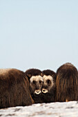 Two Muskox Calves Protected In The Middle Of A Herd During Winter On The Seward Peninsula Near Nome, Arctic Alaska